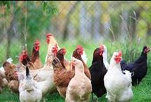 Chickens / chickens and houses / by Vickie Peck