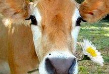 Cows  / by Renee Rakoz