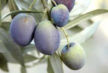 Operation Olives / I became interested in olives when I read The Olive Trilogy by Carol Drinkwater, the story of her olive farm. She wrote 3 more books about her search for the oldest olive tree. One tree was 6,000 years old!  / by Meredith Childress