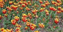 Tulip Festival Ottawa / Tulip Festival Ottawa  -