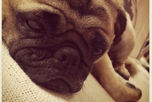 """My Pug and Other Cute Furry Babies / """"If only I could have a puppy, I'd call myself so very lucky. Just to have some company, to share a cup of tea with me. I'd take my puppy everywhere, la la la la I wouldn't care. We'd stay away from crowds - with signs that say no dogs allowed..."""" { Harry Nilsson }"""