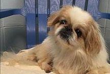 Adoptable Dogs & Puppies / Adoptable Dogs & Puppies at Cherokee County Animal Shelter, Canton GA (770)-345-7270