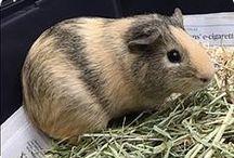 Other Adoptable Animals / Adoptable, Guiana Pigs, Bunnies(Rabbits), Rats, Gerbils, Ect. At Cherokee County Animal Shelter, Canton GA (770)-345-7270