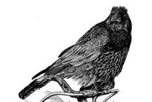 Crows, Ravens & Magpies