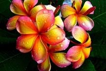 Hawaii Flowers Hawaii / Beautiful flowers and gardens from around Hawaii.