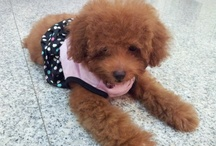 Toy Poodle (Fluffy) / by David Wee