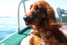 My Irish Setter / Our third Irish Setter in 33 years of marriage / by Sheree McKee