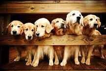 Golden Retrievers <3 / My favorite breed of dogs :)