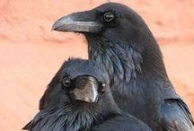 Ravens / by Brenna Ceallaigh