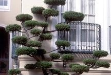 Yews + Cloud Pruning / A plan to make a common yew a bit less common. / by Patrice Watson