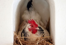 Chickens / by Elizabeth Robillard