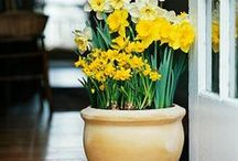 Daffidols / How to plant, look after bulbs, different kinds of daffies, etc