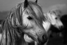 Beautiful Icelandic horses / by Vamana .