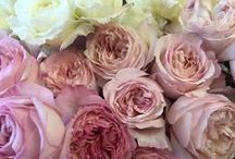 Raw Garden Roses / Typically the showiest and most fragrant of roses.