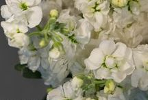 White / Cream / Champagne Flowers / A collection of white, cream & champagne flowers