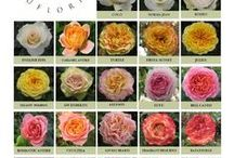 Eufloria California Premium Roses / Garden, traditional and spray roses that are available through Esprit Wholesale Florist