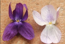 Violets / by Wildcraft Vita