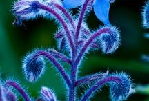 borage / by Wildcraft Vita