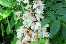 black locust / by Wildcraft Vita
