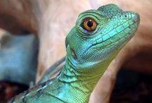 Reptiles, Frogs, Lizards, Snakes, Chameleons, Ghekos