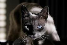 Felidae / by Joanne Ross