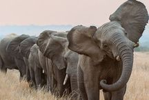 Elephants / by NRDC