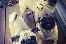 Pug Angels / All things pug!