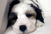 Tibetan Terriers / Tibetan Terriers are soooooo special:) / by Peg Winters-Kinziger
