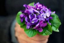 Violets / . / by ~ Terri ~