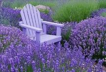Lavender / . / by ~ Terri ~