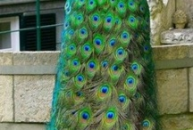 Animal - Bird/ Peacock / by Lucy Rouse
