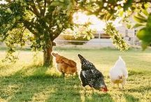 the chickens & the eggs