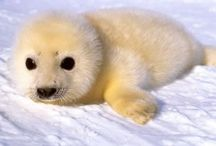 seals / Cute baby and adult seals