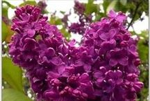 French Lilac Fragrance of the Month March / Perfumed in a traditional French style, this fresh scent conjures spring with a blend of Lilac, Magnolia Leaves, Heliotrope, Ylang Ylang, Hyacinth and subtle notes of Nectarine. This is truly the best Lilac ever.