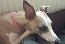 Happy customers! / We receive so many lovely photos of hounds in their SP collars!