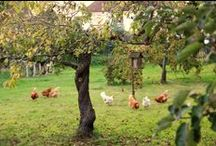 The Garden Smallholder / Our garden farm and produce, Bedfordshire UK www.thegardensmallholder.wordpress.com