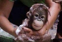 Orangutans / by Carla Haught