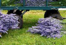 Lavenders & Purple / Flowers, color, paint,