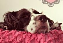 English Springer Spaniel / An ESRA Volunteer, we hope to help re-home English Springer Spaniel Dogs in America.  If you love English Springer Spaniels, join ESRA.  Dog lovers and volunteers are always needed.  Think adoption first.  :)