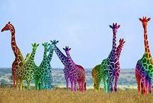 Giraffes / by Amy DiGiulio