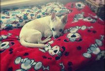 Chihuahua is Love / I'm a mom to two crazy cute chihuahuas, Abby and Jack :) / by Julie McQuade