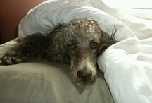 Poodle World: Even More Standards / Chanel is a Spoo and Phoebe too. I love my cafe au lait standards. / by Lynnette Smith