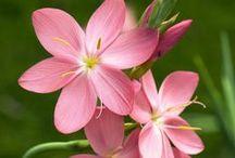 Flower Craze