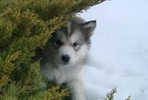 ❤ Husky Lovies ❤ / Huskies, Malamutes, Husky mixes, and other Spitz type breeds :3 / by April