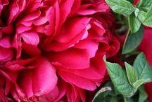 Ramos de Peonías | Bourguignon Floristas / En Bourguignon contamos con nuestro propio cultivo de peonías en Madrid y somos expertos en el cuidado de esta flor. Es una flor que enamora y en Bourguignon celebramos la temporada de peonías con una colección muy especial, disponible durante el tiempo en que se produce su floración.
