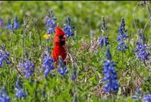 Where to see Wildflowers / Here's what's blooming in Texas state parks. Grab your camera and come get some true Texas pictures. / by Texas Parks and Wildlife