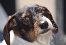 piebald dashhound in the netherlands / dashhound...teckels en nog meer teckels!!