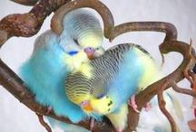 parakeets /parkieten / all things about this little birdies