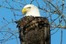 Bald and Beautiful / My bald eagle photos - Eastern Iowa / by Kelly Lamb