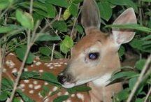 The Deer Whisperer / My photos of deer in Eastern Iowa / by Kelly Lamb